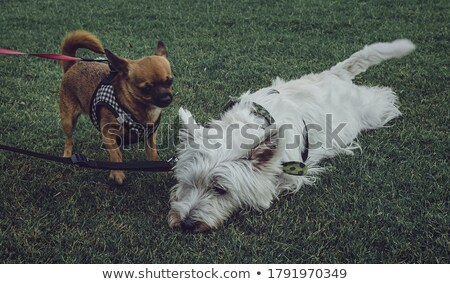 west highland white terrier dog on leash Stock photo © Lopolo