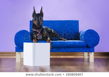 Miniature pinscher dog on sofa Stock photo © tilo