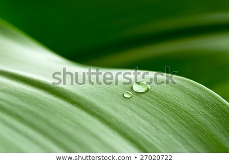 cristal clear drops on a green leaf  Stock photo © inxti