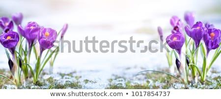açafrão · flor · ensolarado · prado · água - foto stock © jara3000