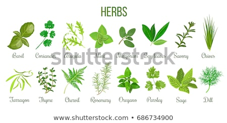 Sage Herb Stock photo © marilyna