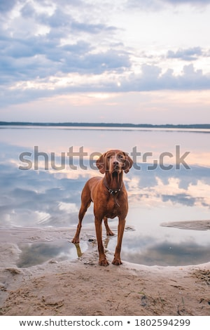 Hungarian Vizsla Stock photo © eriklam