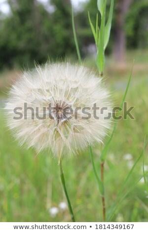 citromsárga · pitypangok · zöld · legelő · virágok · tavasz - stock fotó © taiga