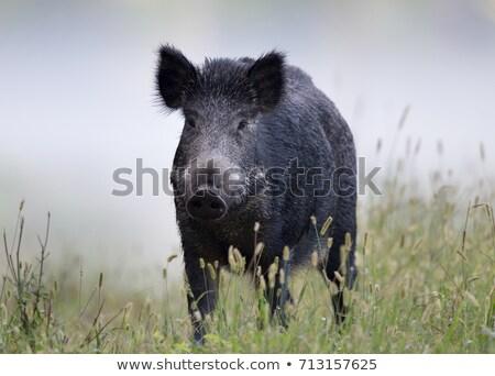 кабан · свинья · лес · небе - Сток-фото © smithore
