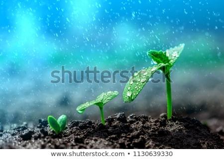 苗 · 水滴 · 緑色の葉 · 小さな · 植物 · 成長 - ストックフォト © rtimages