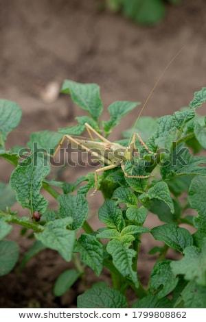 Vert sauterelle organique jardin ravageur bois Photo stock © sherjaca