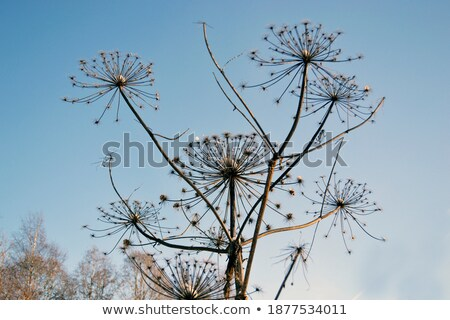 Dried up inflorescence of an umbellate plant Stock photo © pzaxe