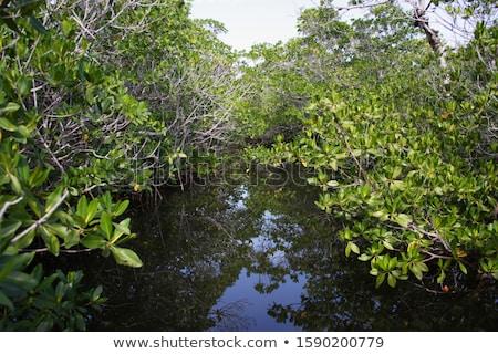 mangroves in the keys  Stock photo © meinzahn