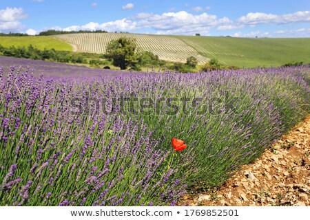 primavera · campo · de · lavanda · planalto · França · paisagem · viajar - foto stock © vwalakte