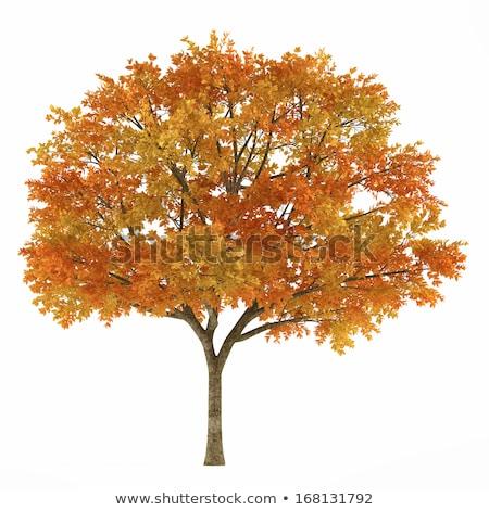 Yalnız yalıtılmış sonbahar akçaağaç ağaç kırmızı Stok fotoğraf © vavlt