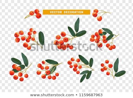 赤 · 液果類 · バラ · 緑の葉 · 孤立した - ストックフォト © sineok