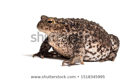 Toad Stock photo © brm1949