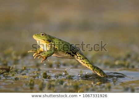 croaking bubble frog stock photo © elenarts