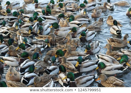 pato · familia · banco · estanque · agua · madre - foto stock © serpla
