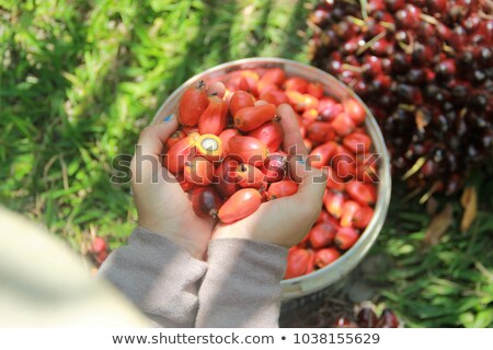 oil palm fruits before processing stock photo © scenery1
