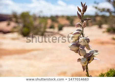Desert Yucca  Stock photo © emattil