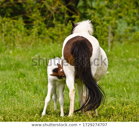 Stock photo: Horse foal suckling from mother