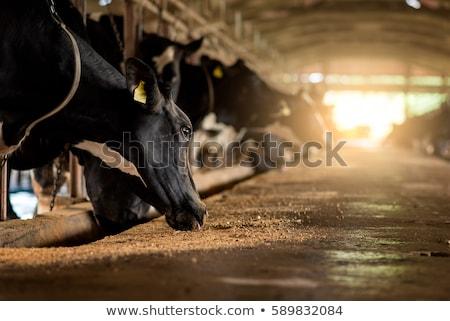 rebanho · vacas · ensolarado · campo · verão · azul - foto stock © olandsfokus