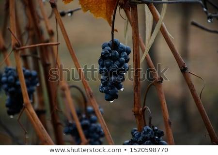 Stock foto: Wein · Trauben · Weinberg · Regen · Detail
