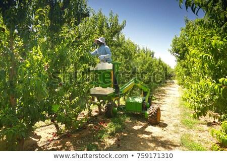 Stock photo: Apple picker