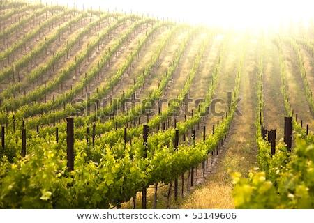 красивой · пышный · винограда · виноградник · утра · туман - Сток-фото © feverpitch