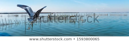 flying grey heron bird stock photo © manfredxy