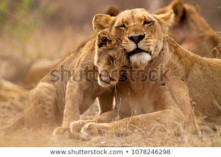 африканских · Африка · Кения · трава · кошки - Сток-фото © oleksandro