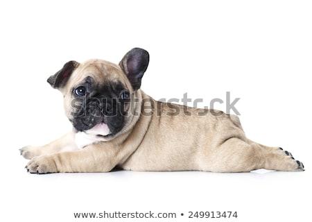Stock photo: Puppy bulldog baby portrait in white studio