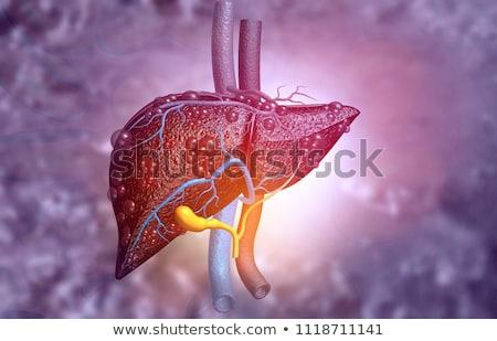 sziluett · férfi · belső · emberi · szervek · illusztráció - stock fotó © tefi