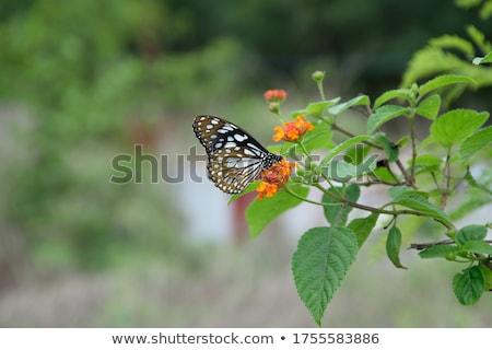 blue tiger tirumala hamata stock photo © dirkr