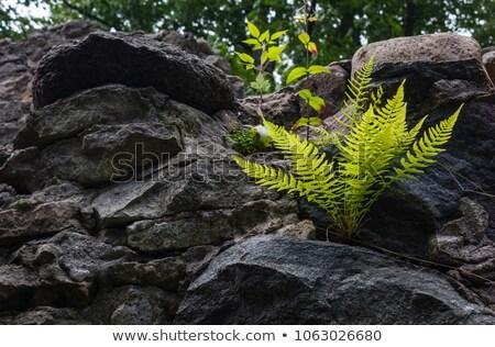 Páfrány levelek fagy száraz fedett reggel Stock fotó © Kotenko