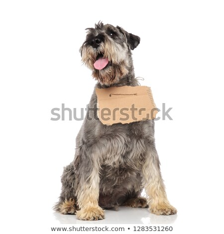 curious schnauzer wearing empty billboard looks up to side Stock photo © feedough