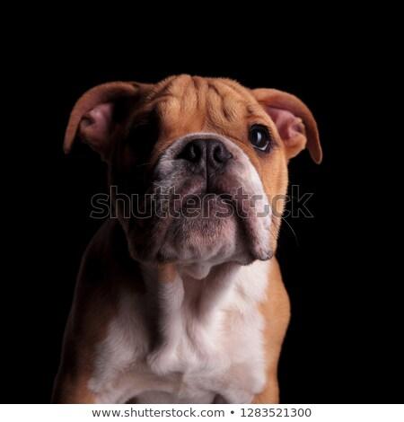 head of unhappy brown and white english bulldog standing Stock photo © feedough