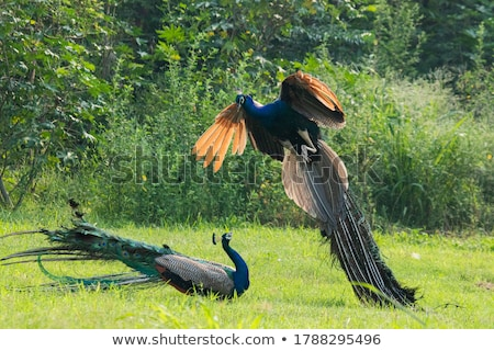 Blue male peacock in a natural Park with feathers out Stock photo © Imaagio