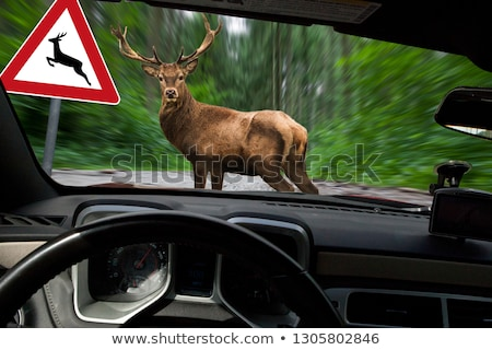 danger on the road, wild animals. moose and car Stock photo © rogistok