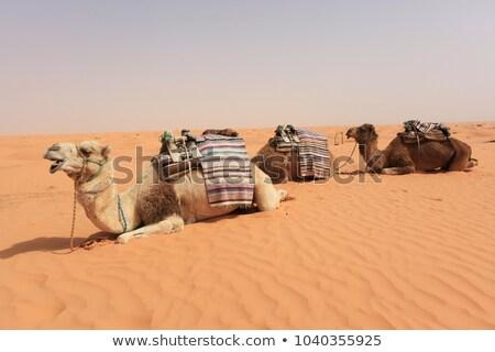 camel resting on sand dunes on a hot day Stock photo © galitskaya
