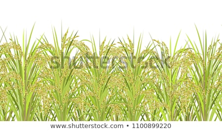 Cereal rice fields with ripe spikes Stock photo © lunamarina