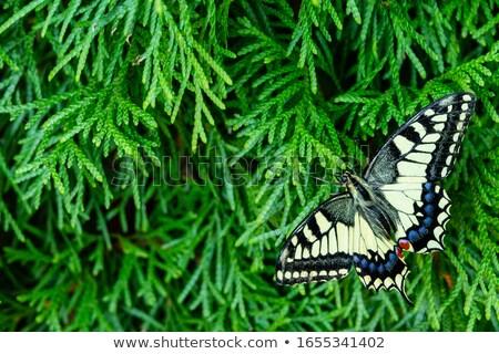 Old World Swallowtail Papilio machaon Stock photo © Qingwa