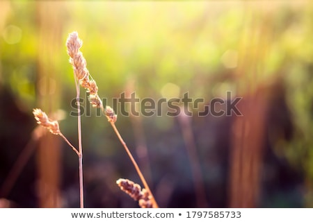 wild grass in bright sunset stock photo © sweetcrisis