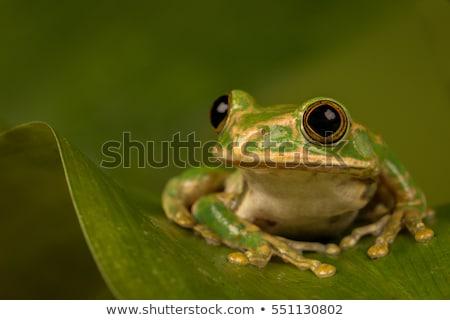 Tavuskuşu yeşil kurbağa tropikal Afrika Stok fotoğraf © macropixel