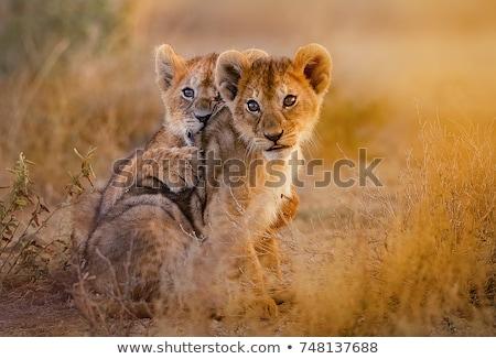 Mały lew gry Tanzania Afryki sawanna Zdjęcia stock © photocreo