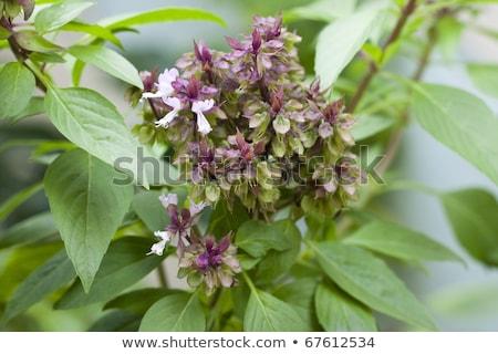 florescimento · manjericão · branco · comida · verde · isolado - foto stock © Masha