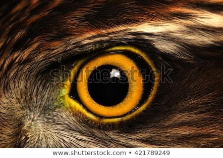 retrato · falcão · olho · cara · natureza - foto stock © saddako2