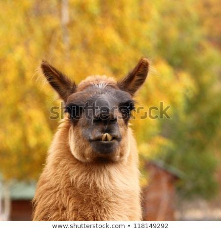 Portret lama mooie gezicht tanden kleur Stockfoto © pxhidalgo