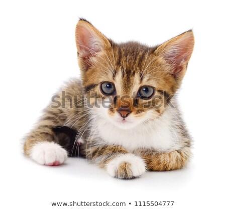 kitten sitting on white stock photo © dnsphotography