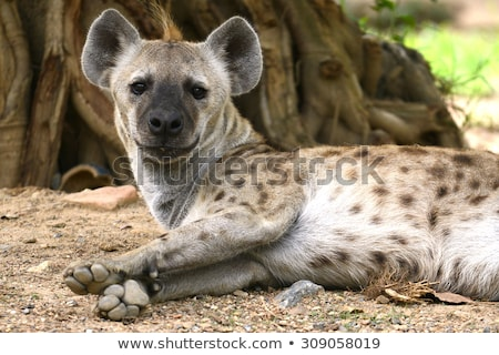 Spotted Hyena lying stock photo © ottoduplessis