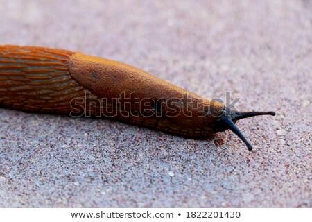 Открытый коричневый улитки движущихся землю Сток-фото © jaycriss