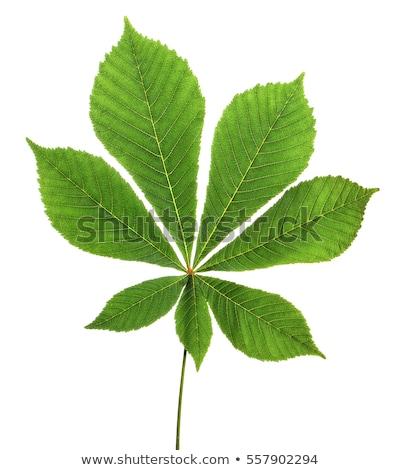 緑色の葉 栗 孤立した 白 ツリー 夏 ストックフォト © Cipariss