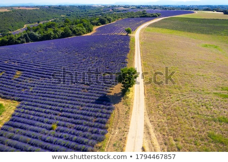 road with a tree, Plateau de Valensole, Provence, France Stock photo © phbcz