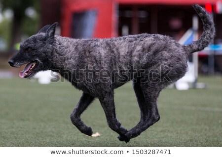 Stock fotó: Holland · juhász · kutya · izolált · fehér · díszállat